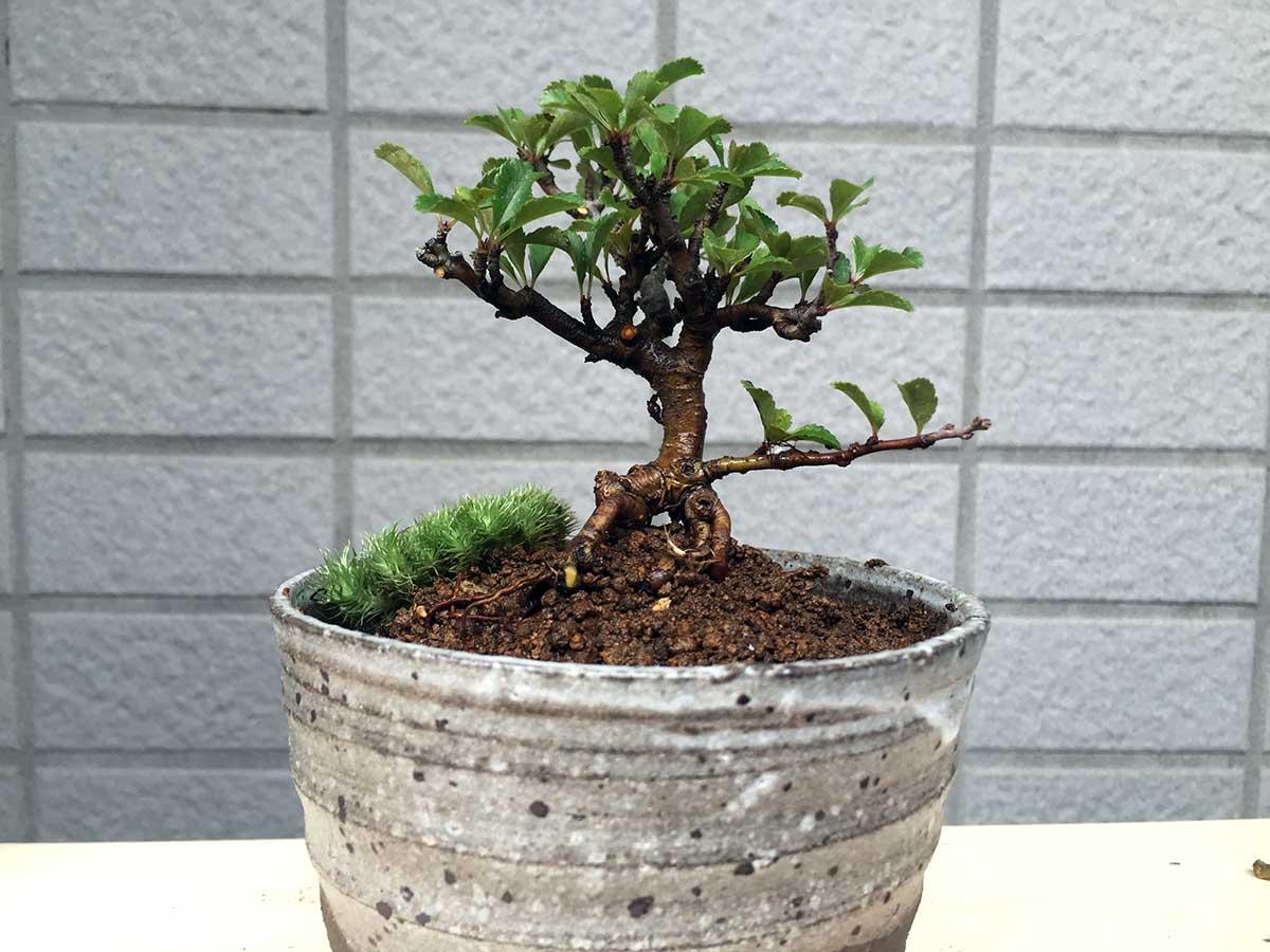 植え替え後の長寿梅|盆栽