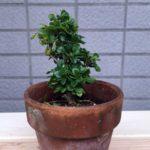 買ってきたメギ(目木)の初めての植え替え|盆栽