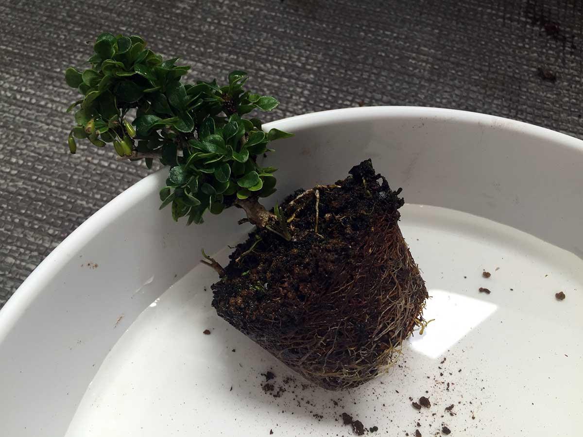 植え替え メギ|盆栽