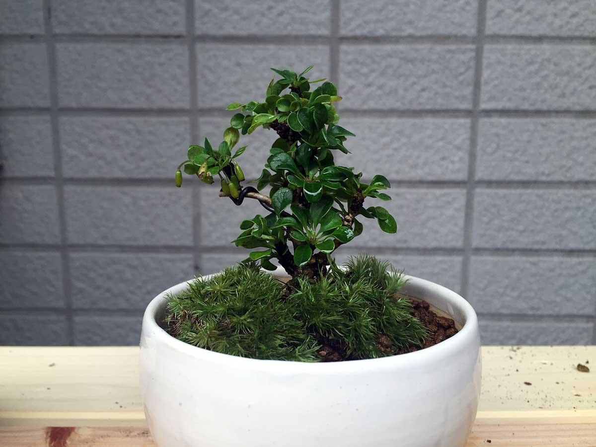 植え替え後のメギ|盆栽
