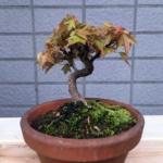 買ってきた山もみじの初めての植え替え|盆栽