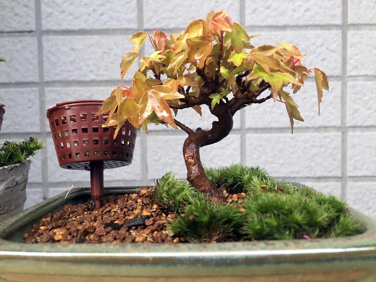 植え替え後の山もみじ|盆栽