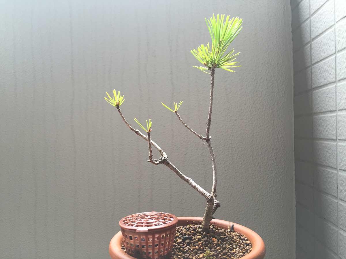 アカマツ 盆栽
