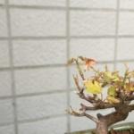 このまま枯れていってしまうのかと思われたカエデから新芽が!!|盆栽