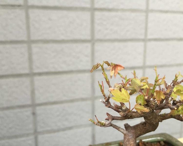 盆栽 カエデ 新芽