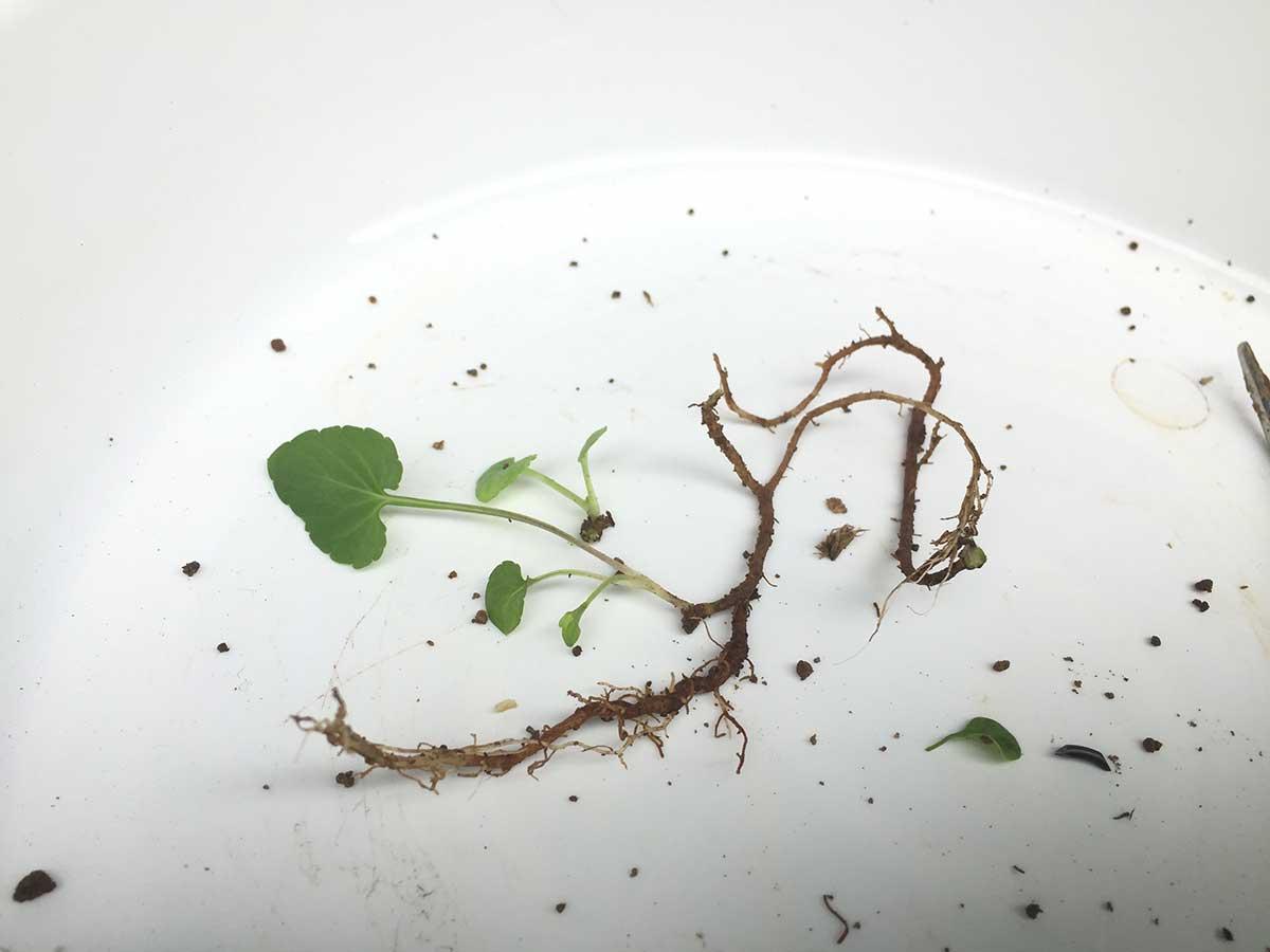 盆栽 メギに生えた雑草