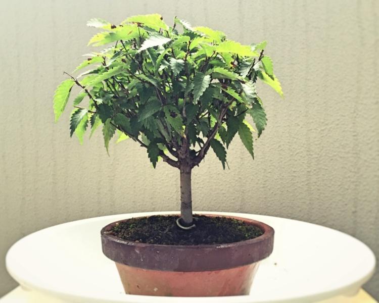 ケヤキ盆栽