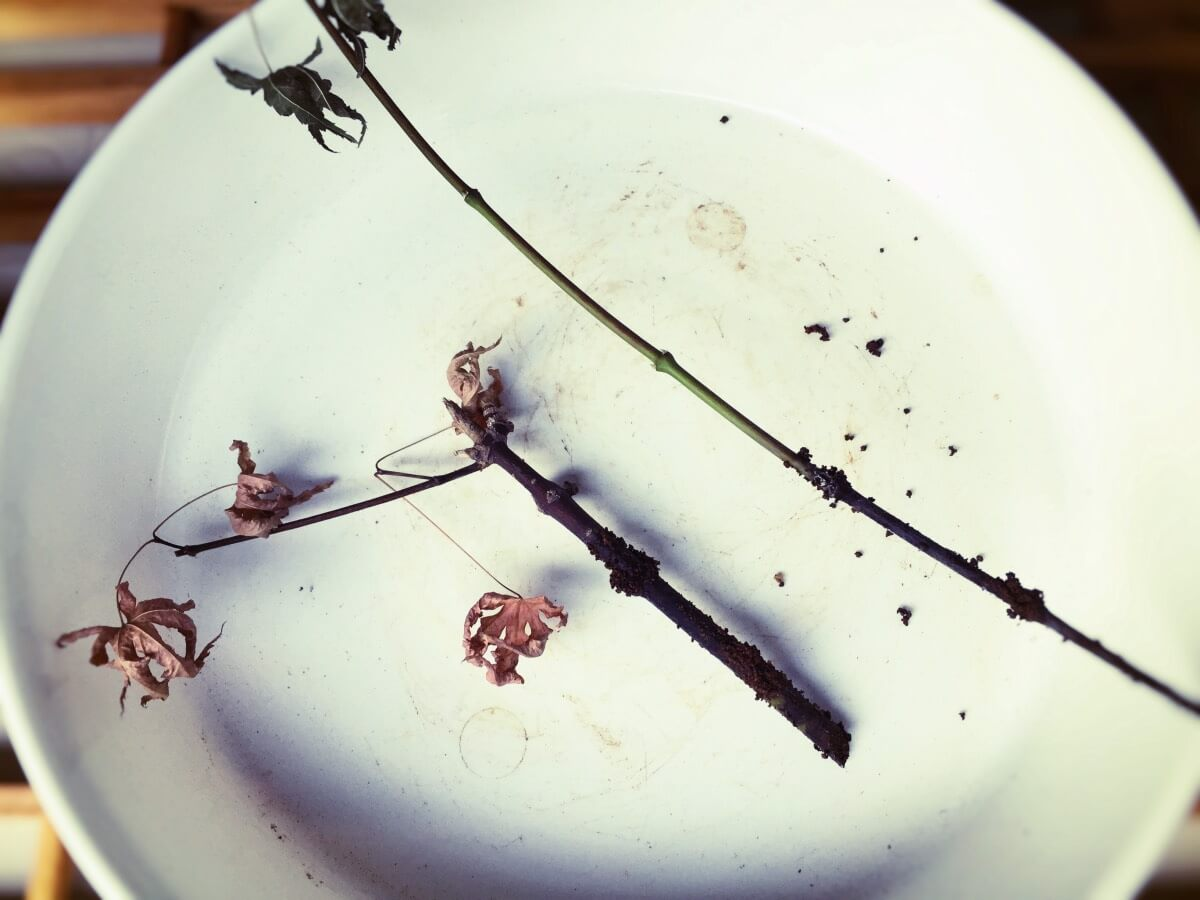 モミジ 緑枝挿し 枯れた