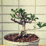 盆栽 長寿梅の葉に白いつぶつぶ・・・これはハダニでしょうか。