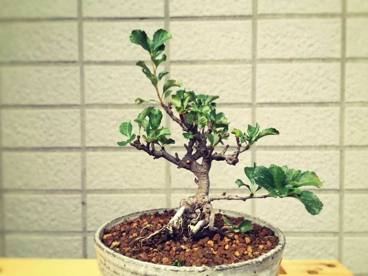 盆栽 長寿梅 虫害 ハダニ