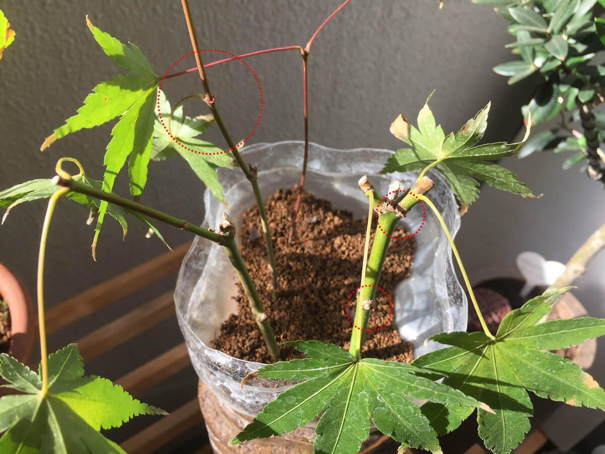 もみじ 緑枝挿し 芽吹き