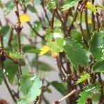 欅(ケヤキ)盆栽、紅葉することなくやや冬の様相に。ケヤキ褐斑(かっぱん)病が酷いので葉を落としました。