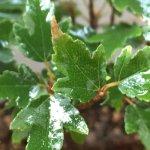 楓(カエデ)盆栽も紅葉せず。葉先が茶色になり始めているのは単なる冬枯れの兆候か