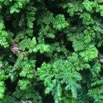 石化檜(ヒノキ)盆栽。葉がかわいい。初心者向けの盆栽らしいです。