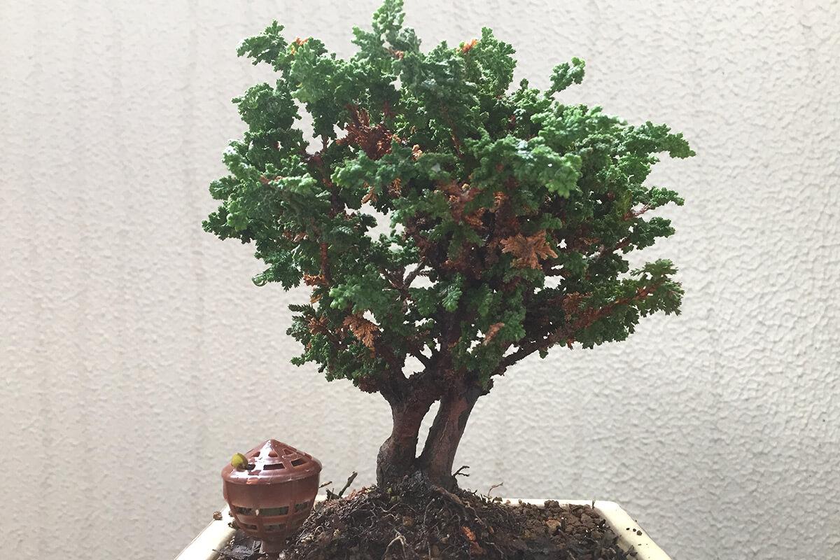 石化ヒノキ盆栽 秋