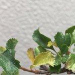 夏の終盤にハダニにやられた長寿梅盆栽のその後