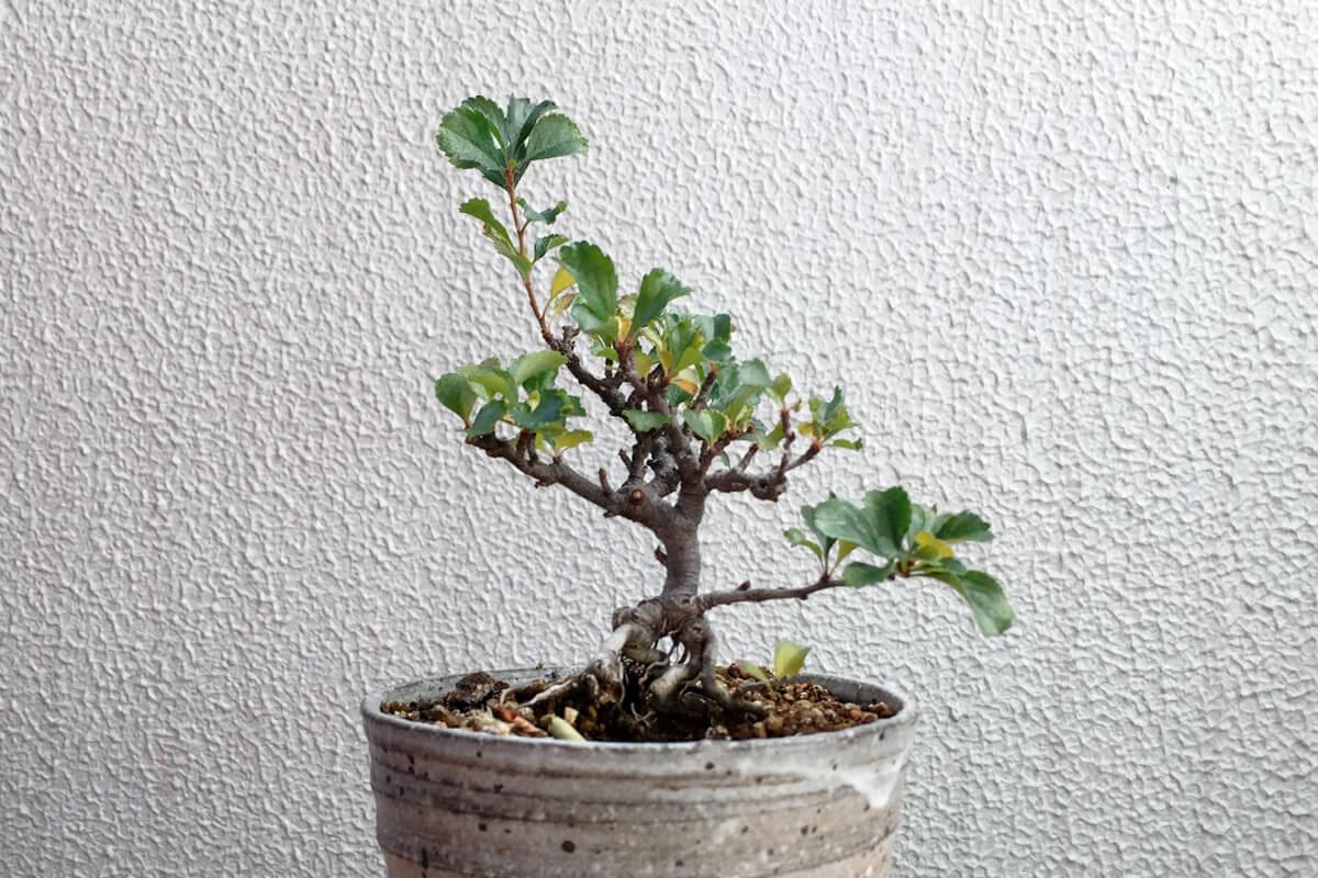 長寿梅盆栽 秋