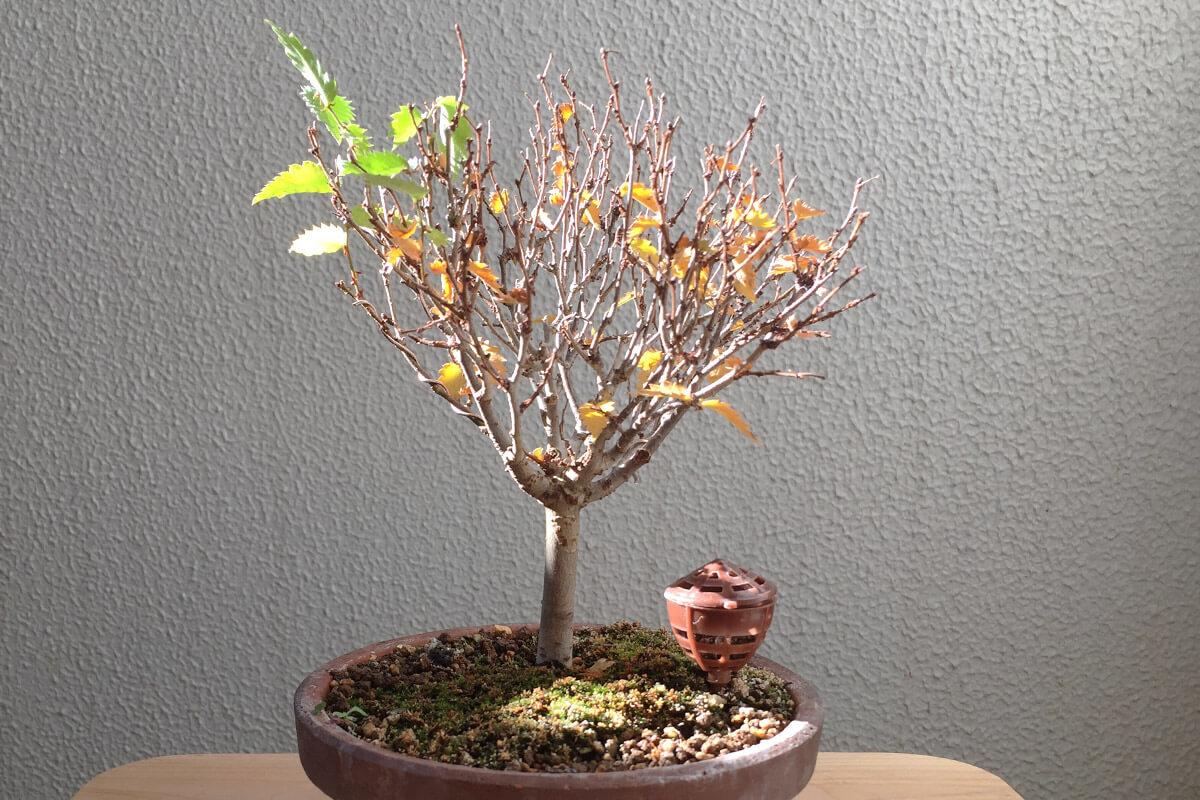 ケヤキ盆栽 黄葉? 落葉