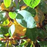 メギ盆栽、気温が下がるにつれてやや黄葉するも全体的に青々とした姿をしている