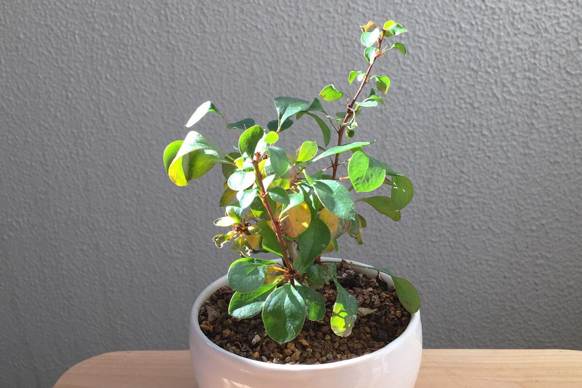 目木(メギ)盆栽|Megi Bonsai|黄葉