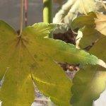 緑枝(りょくし)挿ししたモミジ、葉がくしゃくしゃになりもう限界の様子