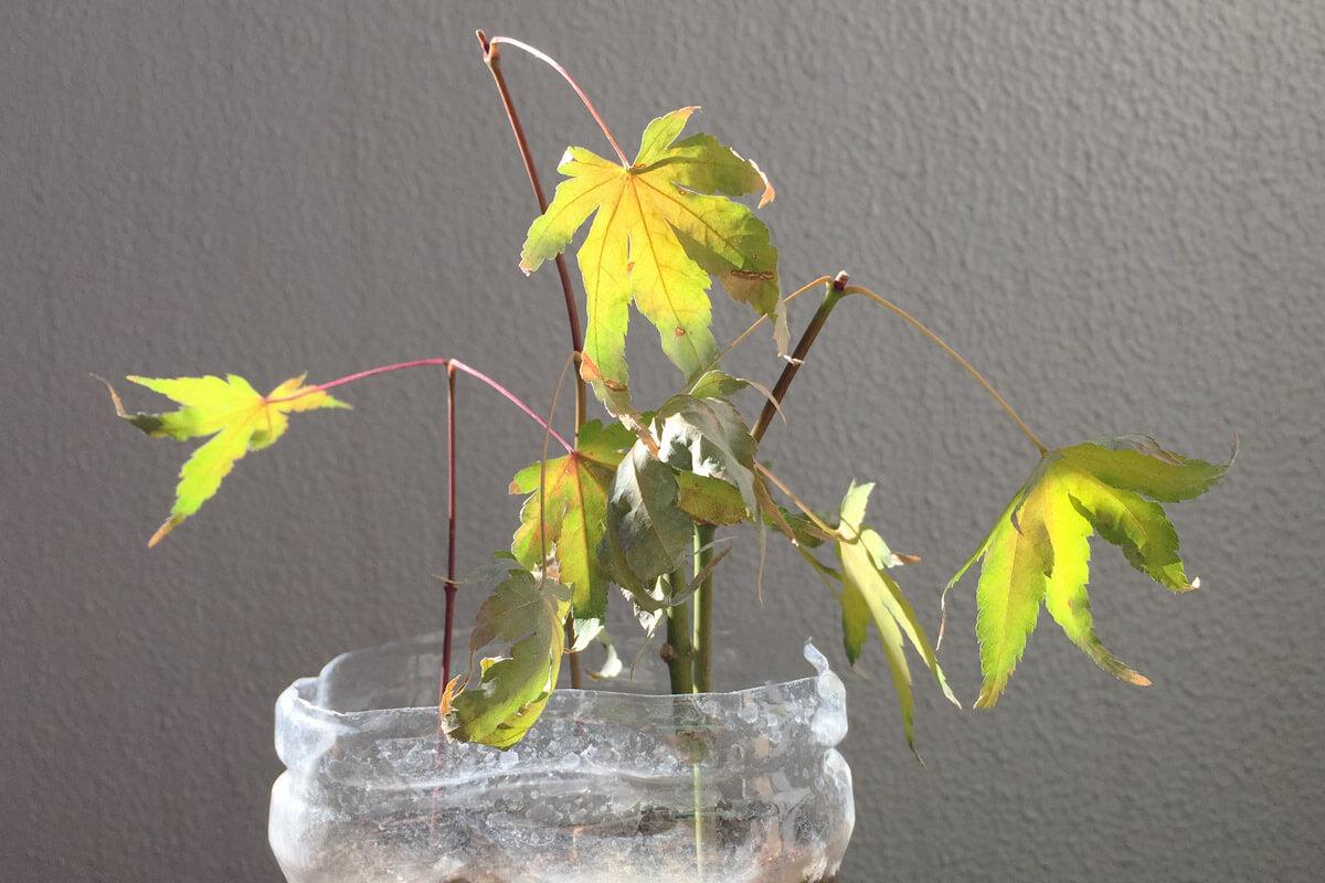 緑枝(りょくし)挿しモミジ 秋 枯れ