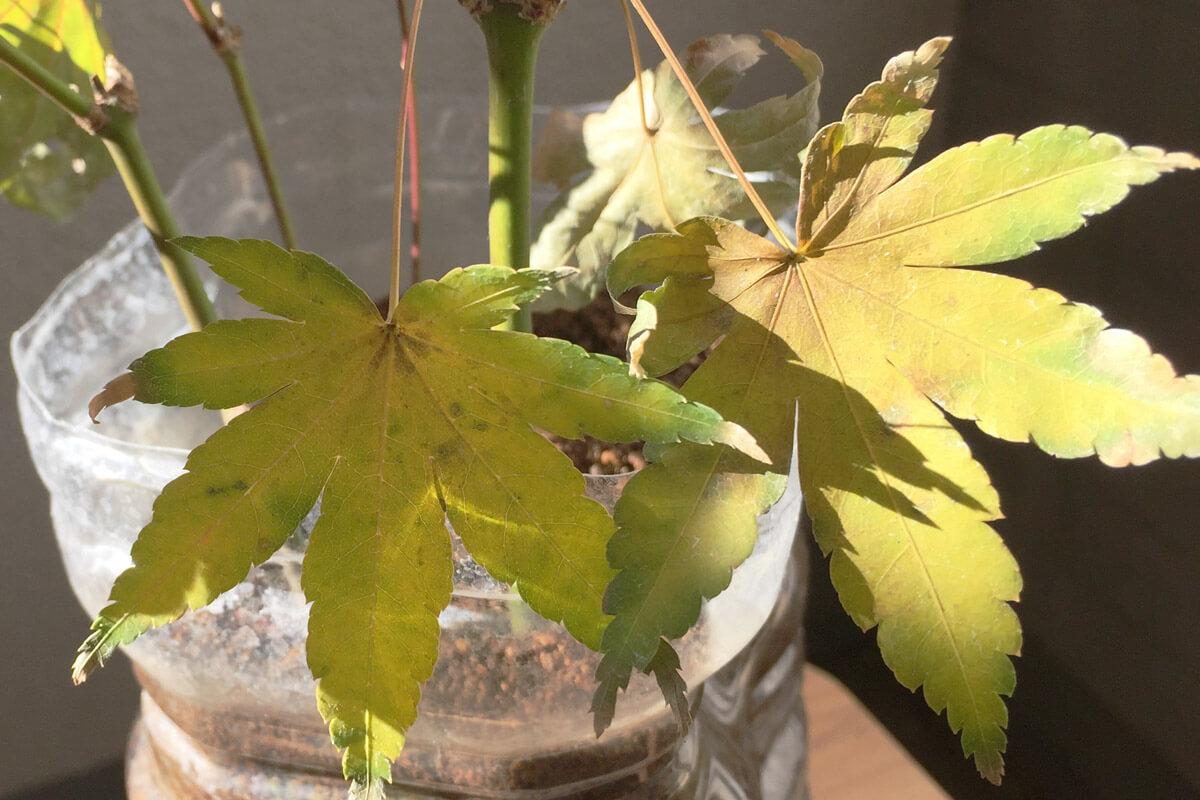 緑枝(りょくし)挿しモミジ 秋 黄葉