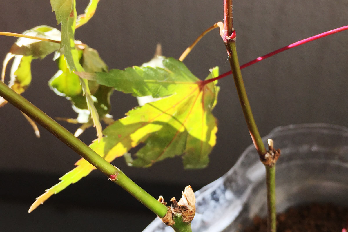 緑枝(りょくし)挿しモミジ 秋 新芽