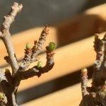 長寿梅 盆栽、芽吹き始めました。