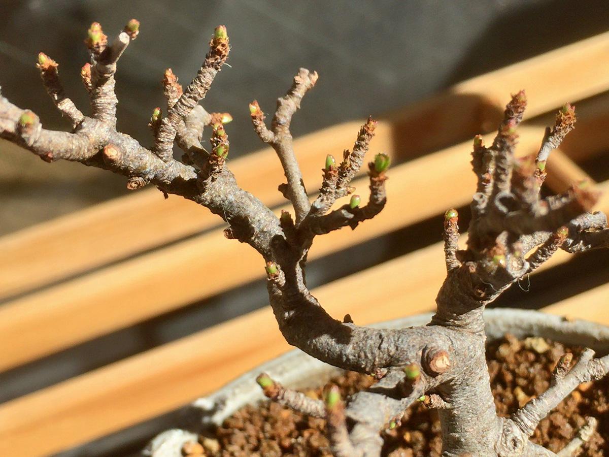 長寿梅盆栽 新芽
