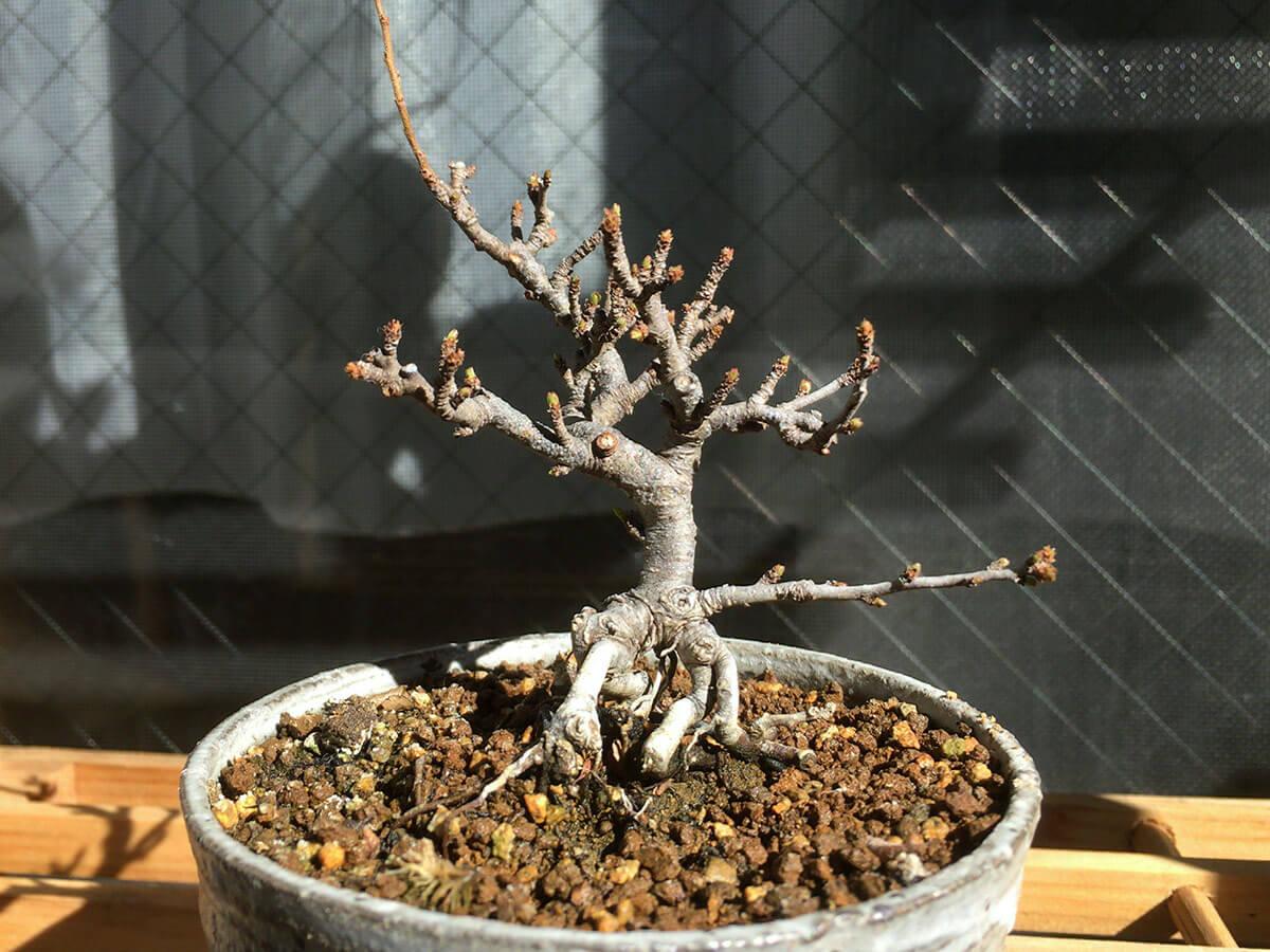 長寿梅盆栽 落葉姿