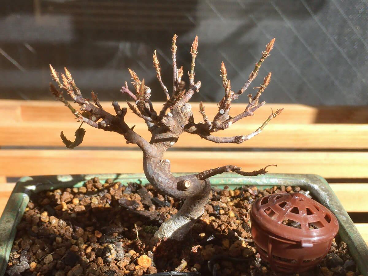 カエデ盆栽 落葉姿