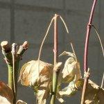 緑枝(りょくし)挿ししたモミジ、落葉と新芽への期待