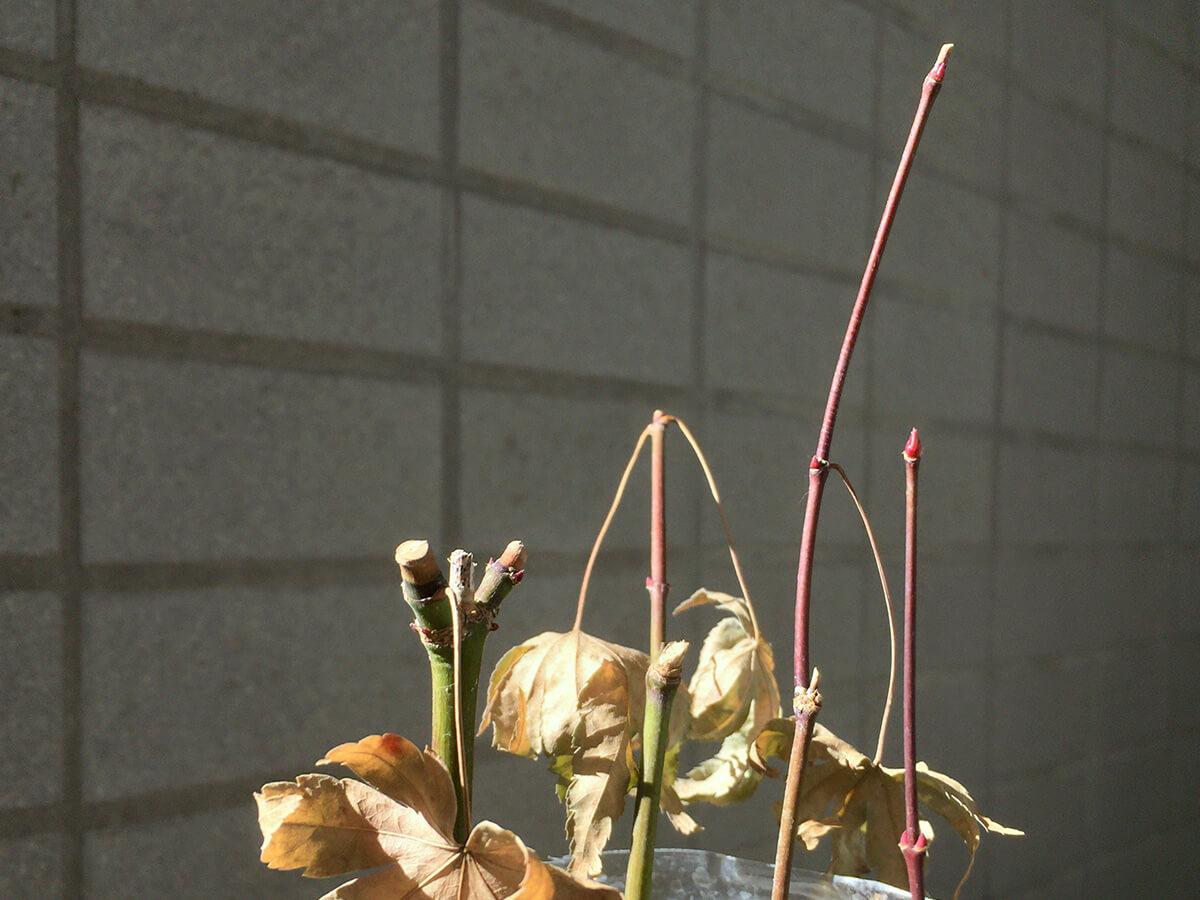 落葉した緑枝挿しモミジに新芽