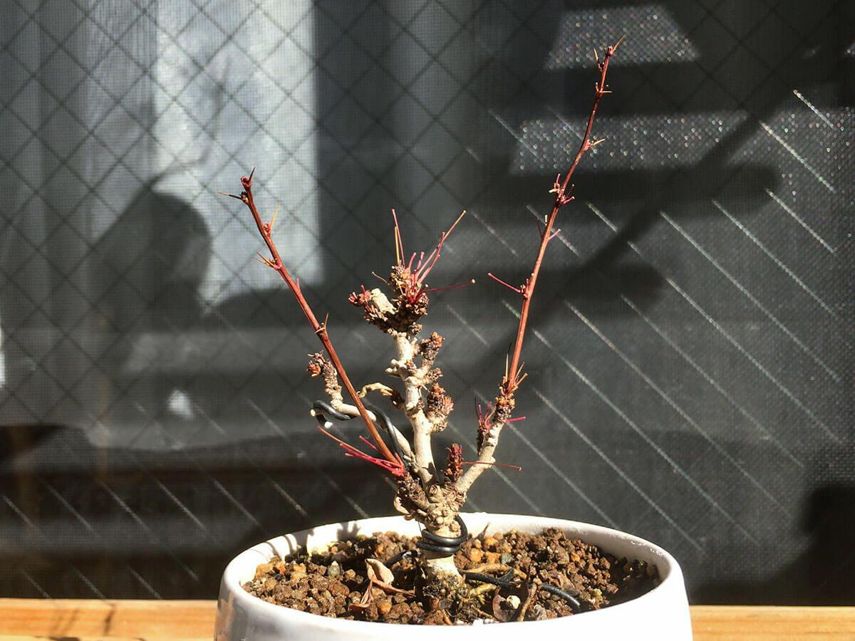 メギ盆栽 落葉 寒樹 裸木 冬木