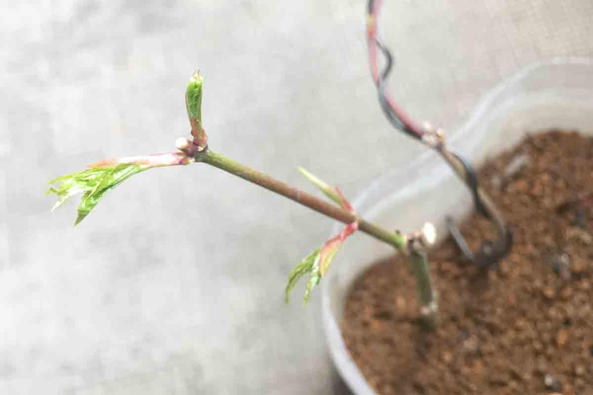緑枝挿しモミジ 大きくなり始めた新葉