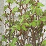 ケヤキ盆栽にも待望の春。葉が芽吹いてきました。