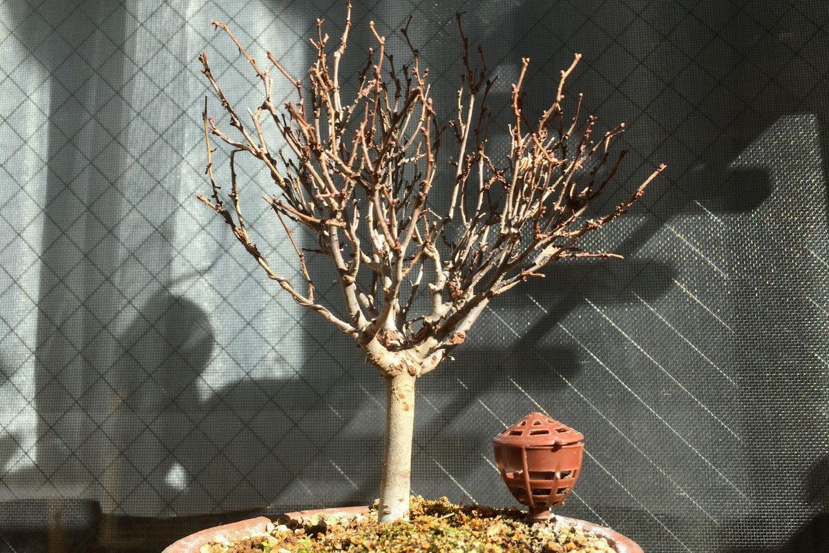欅(ケヤキ)寒樹姿