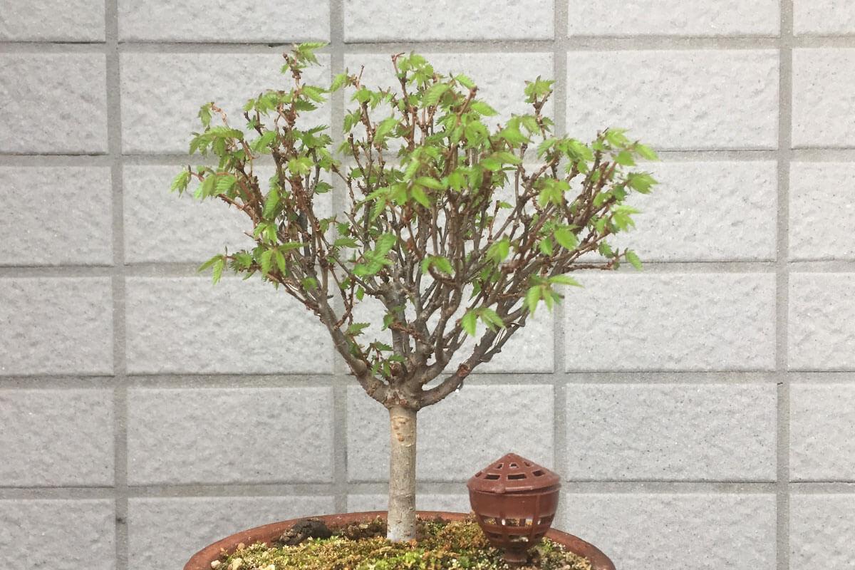 欅(ケヤキ)春の新葉