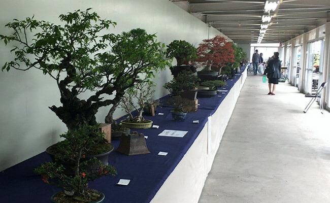 上野グリーンクラブ(東京盆栽倶楽部)建屋内の高額盆栽