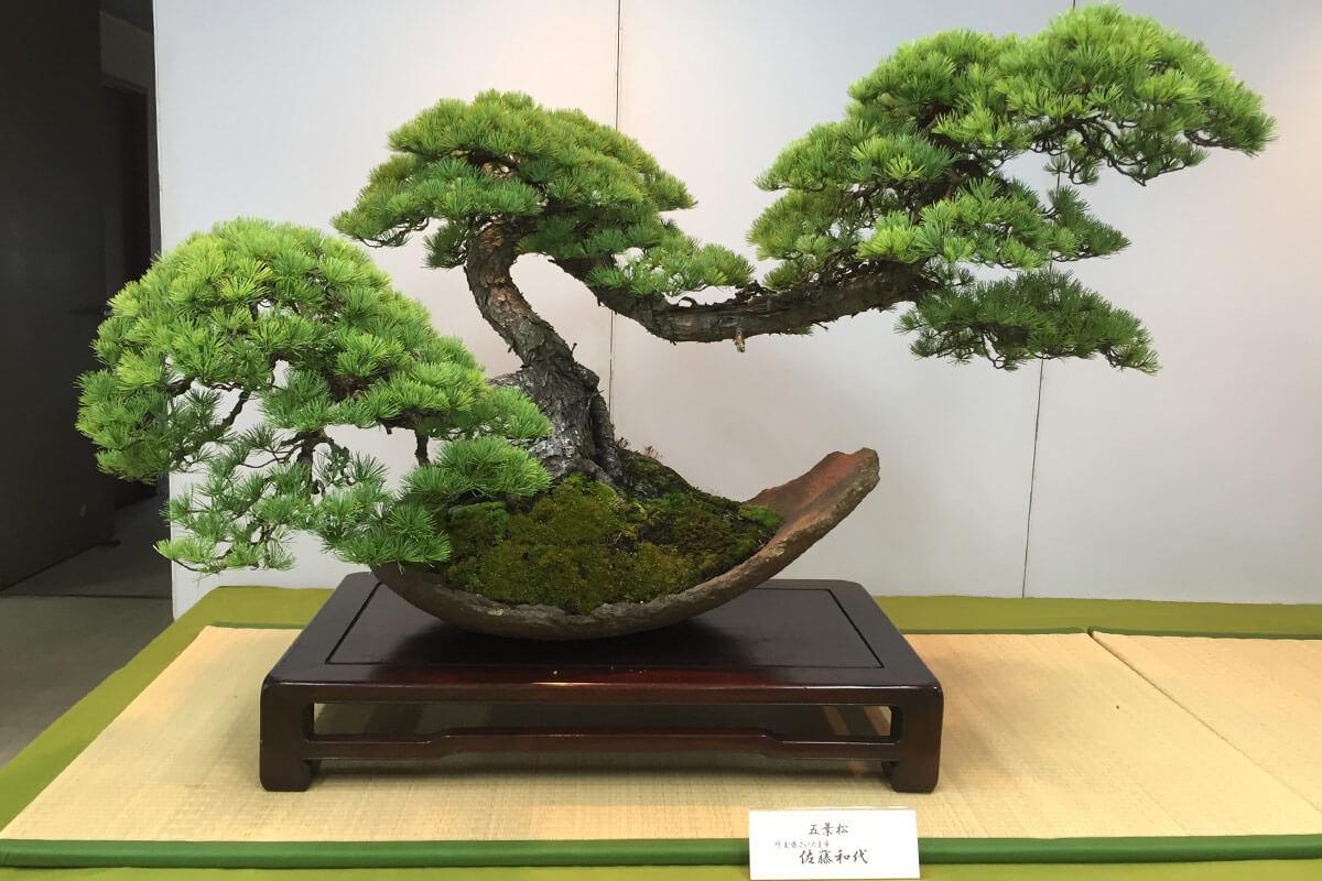 第4回新緑風展 五葉松盆栽