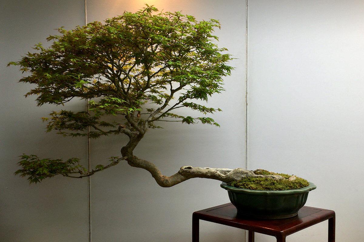 第4回新緑風展 山もみじ盆栽