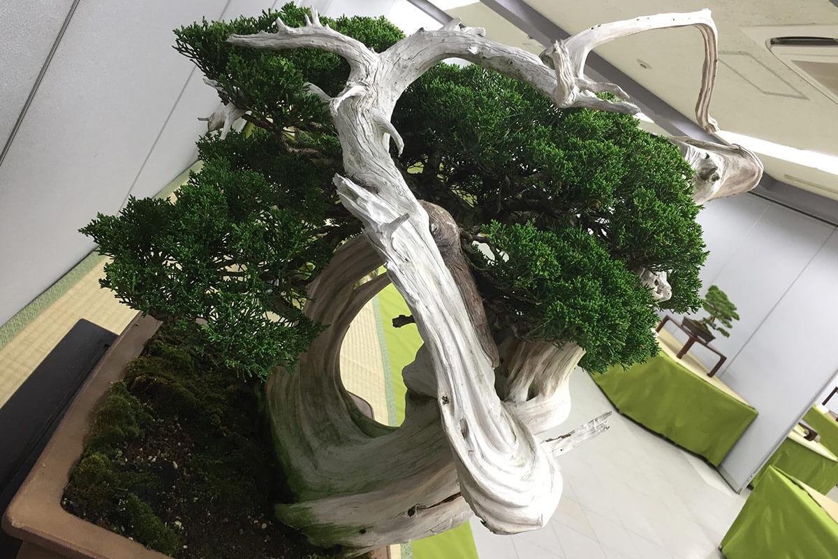 第4回新緑風展 真柏盆栽 ジンシャリ