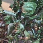 カエデ盆栽の葉先が黒くなったあと全滅。首垂細菌病かただの水枯れか・・・