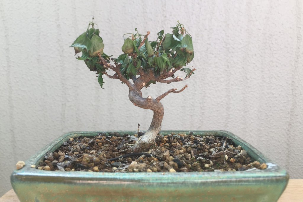 カエデ盆栽 葉枯れ 首垂細菌病(くびたれさいきんびょう)