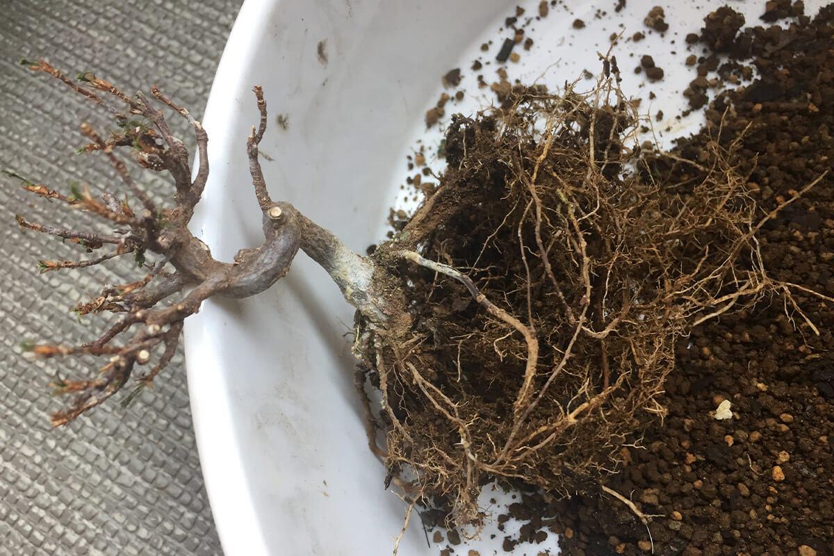 カエデ盆栽 根の状態