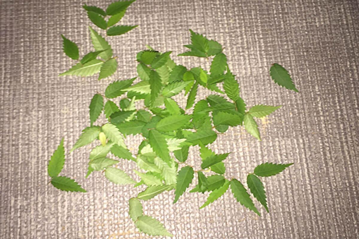 ケヤキ盆栽 葉刈り
