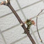 新葉まで生えた緑枝挿しモミジでしたが、枯死しました。原因は?