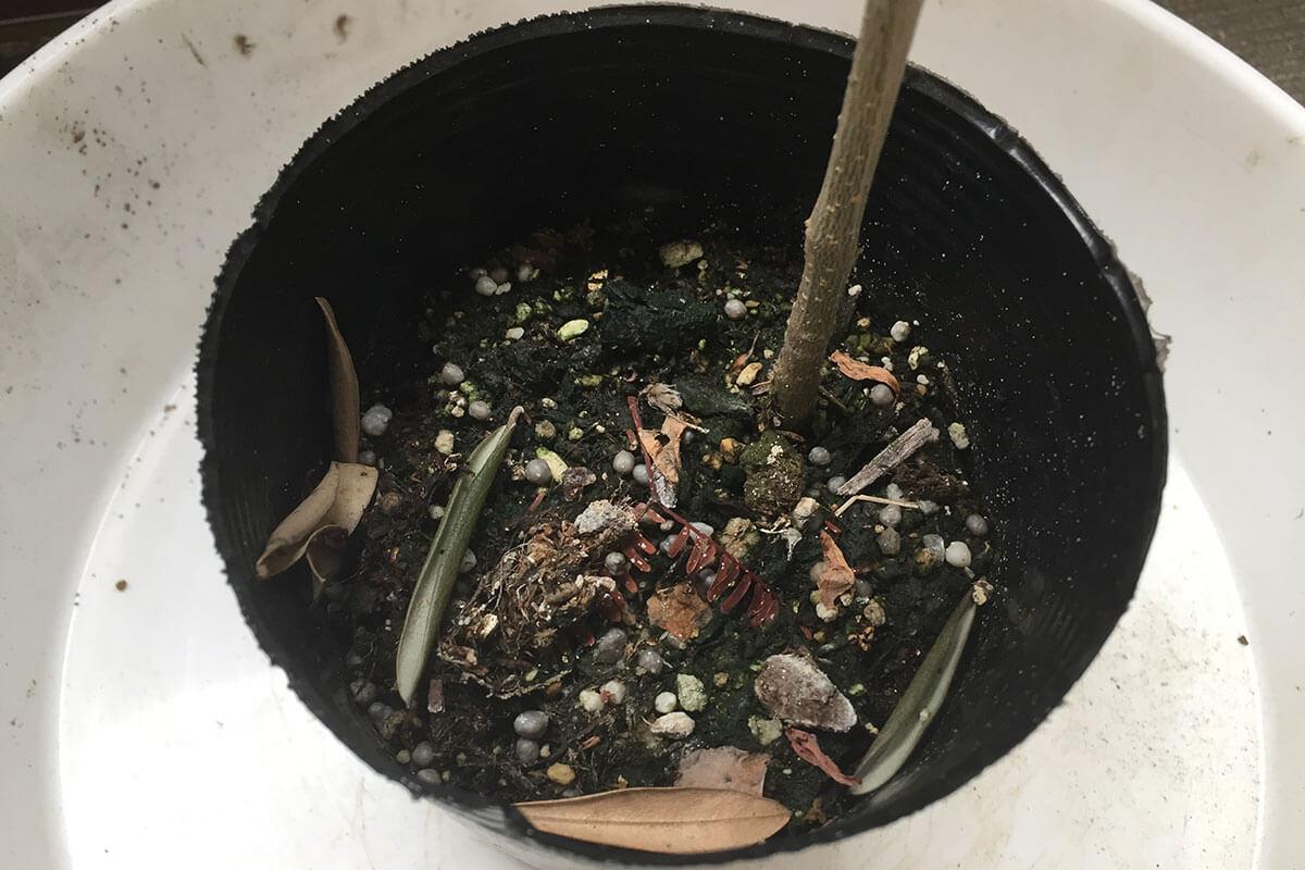 オリーブ植え替え 土の状態を確認
