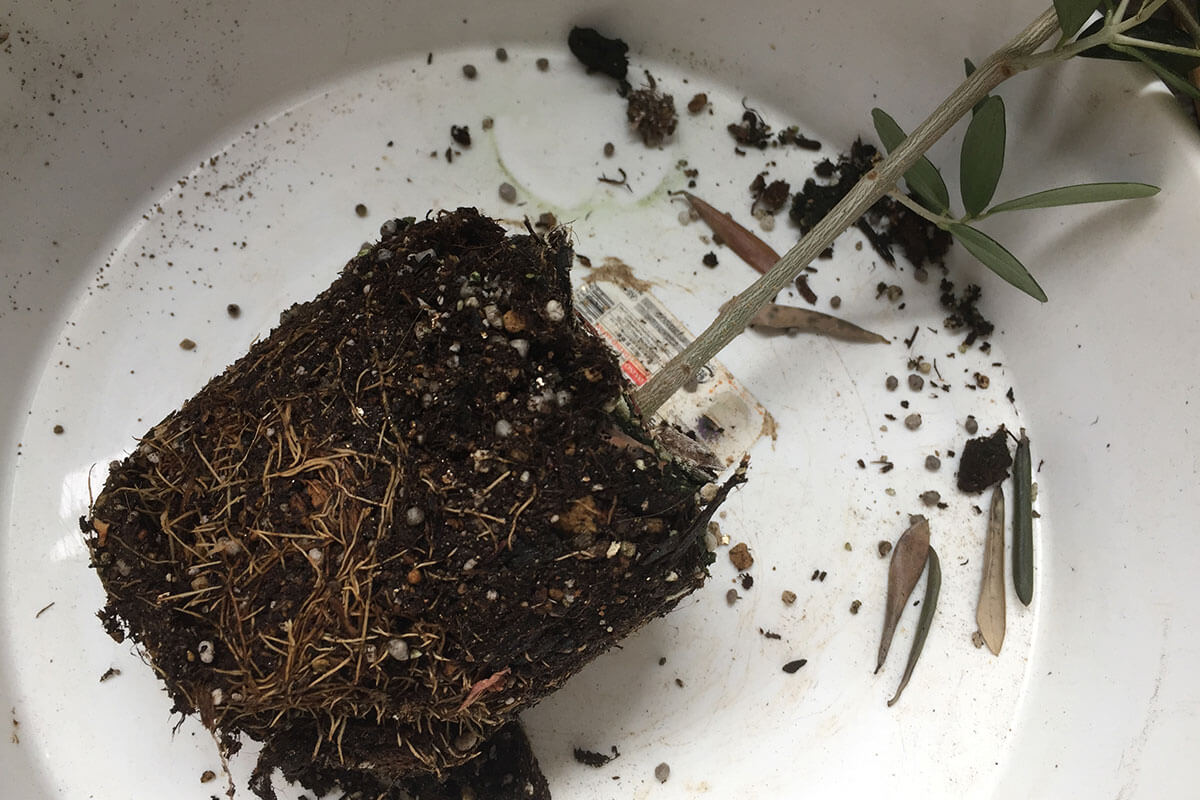 オリーブ植え替え 根の状態を確認